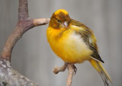 ptak ozdobny