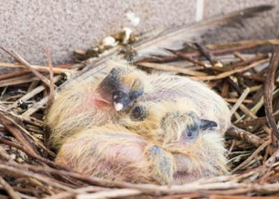 młode gołębie w gnieździe
