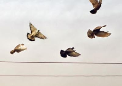 lecące gołębie