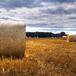 uprawy ziaren